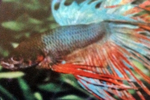 betta cola corona macho deluxe