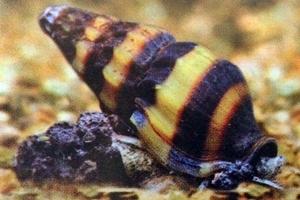 caracol comecaracoles