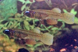 pez linterna de ojo azul